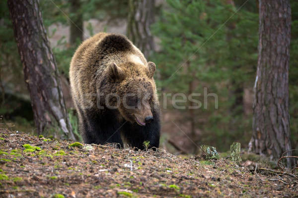 Invierno forestales grande femenino Europa Foto stock © artush
