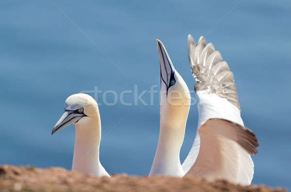 northern gannet, birds in love Stock photo © artush