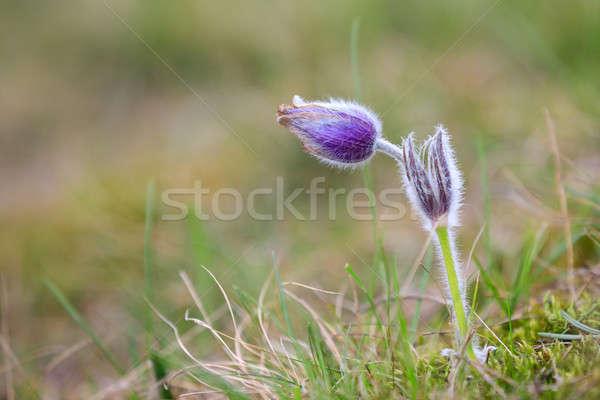Flor púrpura pequeño peludo primavera Foto stock © artush