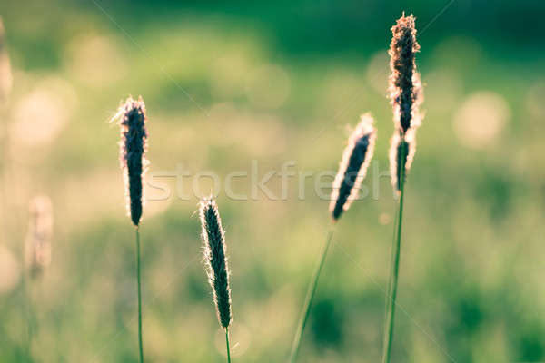 spring background with grass on meadow Stock photo © artush