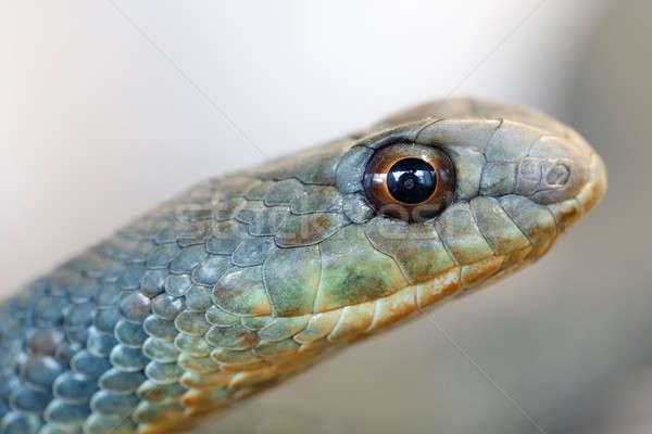 Serpent espèce venimeux oeil peur belle Photo stock © artush