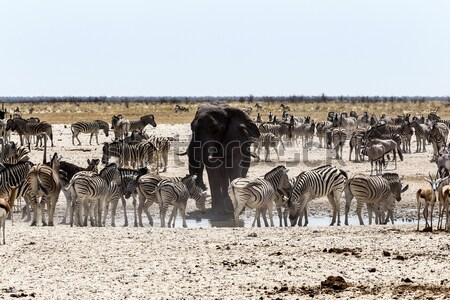 crowded waterhole with Elephants, zebras, springbok and orix Stock photo © artush