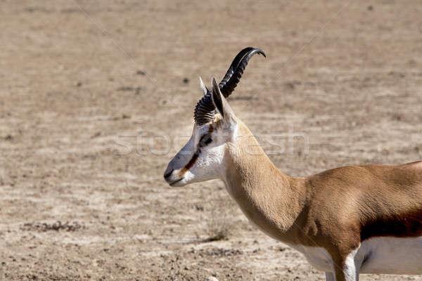Portrait of Springbok gazella in kgalagadi, South Africa Stock photo © artush