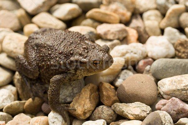 European common toad, bufo bufo outdoor Stock photo © artush