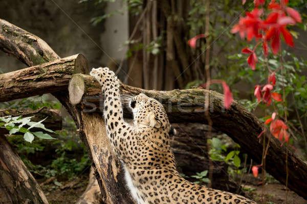 shot of Persian leopard Stock photo © artush