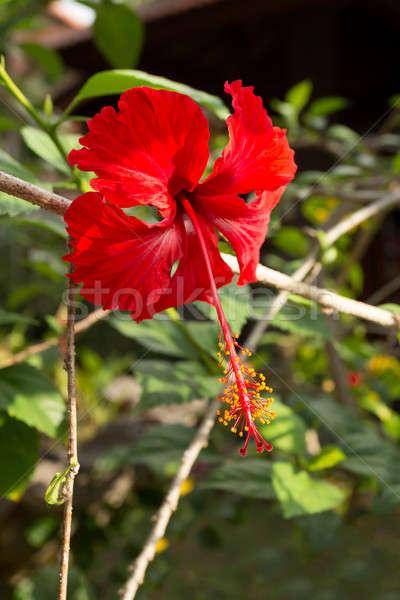 Harmat piros hibiszkusz virág levelek virágok Stock fotó © artush