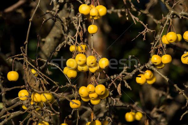 yellow Crab Apples Golden Hornet Stock photo © artush
