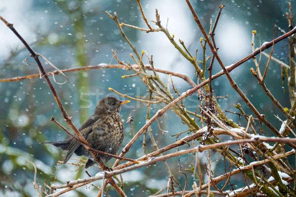 Femenino mirlo invierno jardín árbol ojo Foto stock © artush