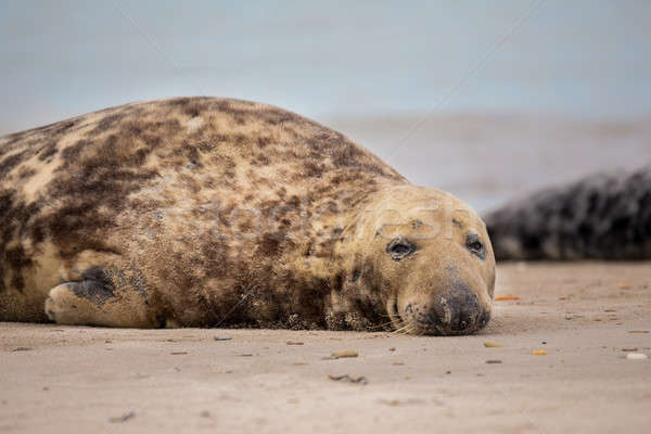atlantic Grey Seal portrait Stock photo © artush