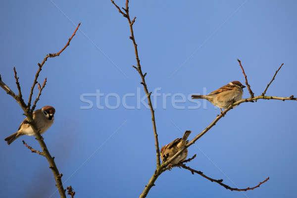 Stok fotoğraf: Güzel · küçük · kuş · ev · serçe · kış
