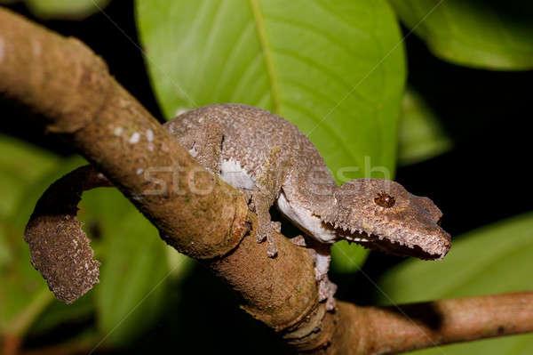Gekko Madagascar reus nieuwsgierig park reserve Stockfoto © artush
