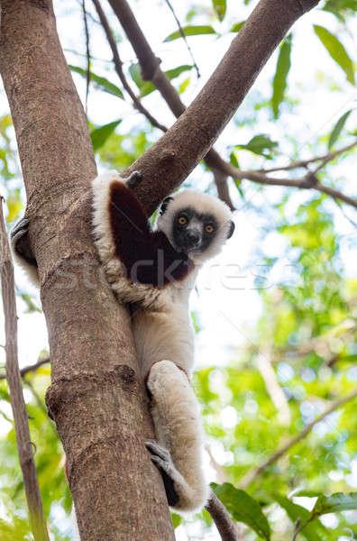 Ritratto parco Madagascar fauna selvatica albero bellezza Foto d'archivio © artush