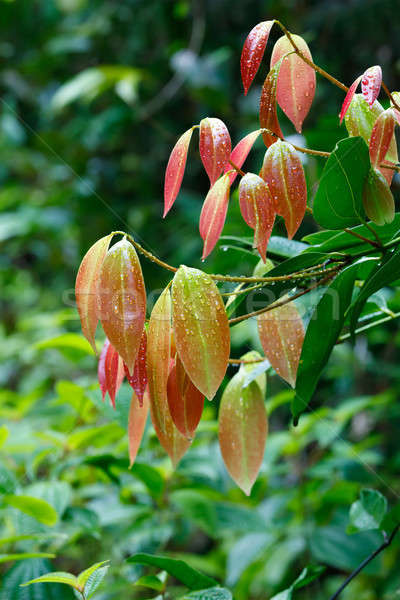 Cinnamon Tree with colored leaves Stock photo © artush