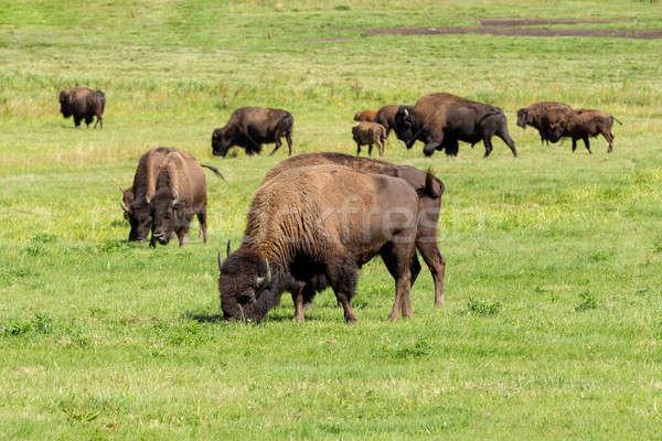 Foto stock: Americano · bisonte · simplemente · hierba · naturaleza · verano