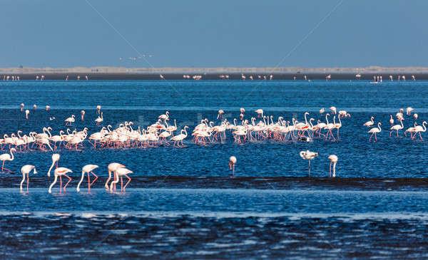 Rosy Flamingo colony in Walvis Bay Namibia, Africa wildlife Stock photo © artush