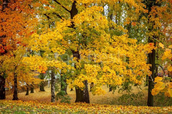 Maple tree in park in autumn  Stock photo © artush