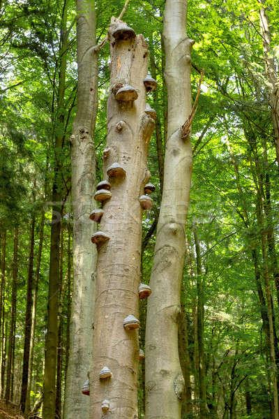 Zdjęcia stock: Wzrostu · drzewo · grzyby · rozwój · martwe · drzewa · lasu