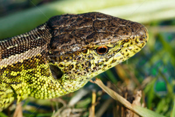 small lizard Lacerta agilis Stock photo © artush