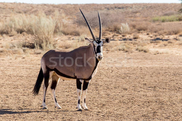 portrait of Gemsbok, Oryx gazella Stock photo © artush