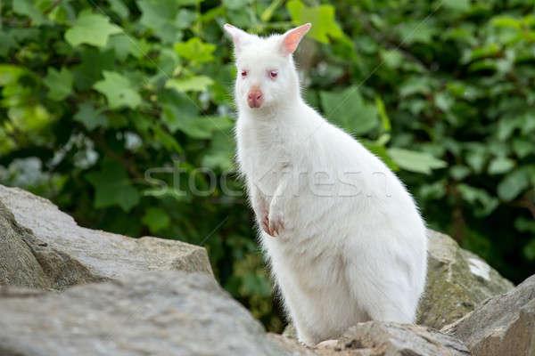 Closeup of a Red-necked Wallaby white albino female Stock photo © artush