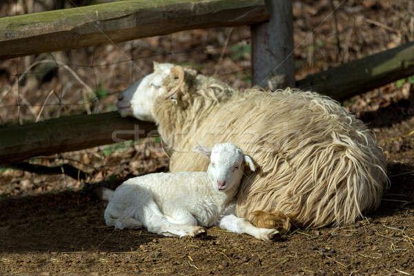 Koyun kuzu kırsal çiftlik küçük Paskalya Stok fotoğraf © artush