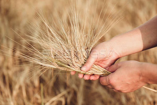 Wheat ears barley in the hand Stock photo © artush