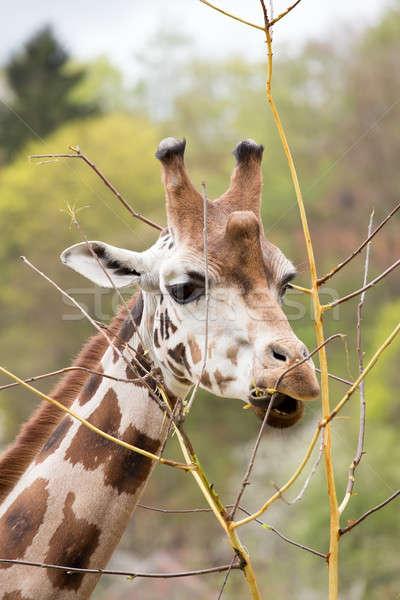 Stock fotó: Fiatal · aranyos · zsiráf · zárt · fa · szem