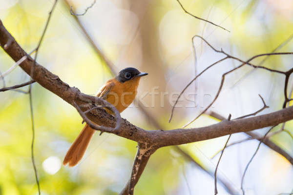 Madagascar bird Paradise-flycatcher, Terpsiphone mutata Stock photo © artush