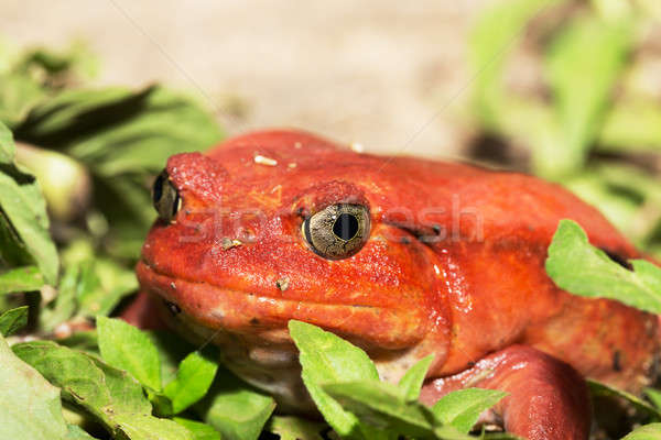 Nagy piros paradicsom béka fajok konzerv Stock fotó © artush