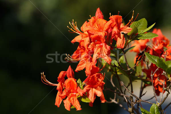 Red azaleas blooms in spring garden Stock photo © artush