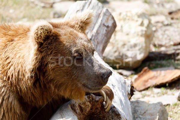 Orso bruno rosso orso confusi natura sfondo Foto d'archivio © artush