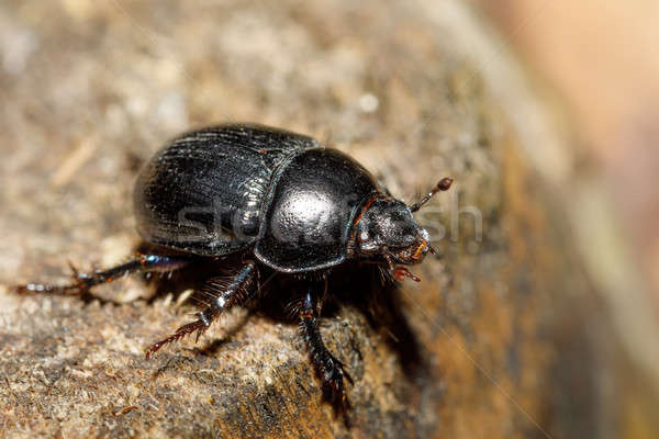 Сток-фото: жук · соснового · лес · макроса · черный · портрет