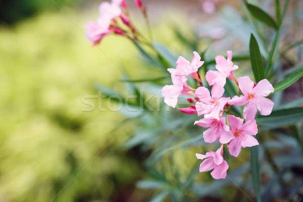 Flor de primavera jardín superficial enfoque espacio texto Foto stock © artush