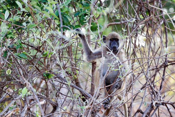 Chacma Baboon Stock photo © artush