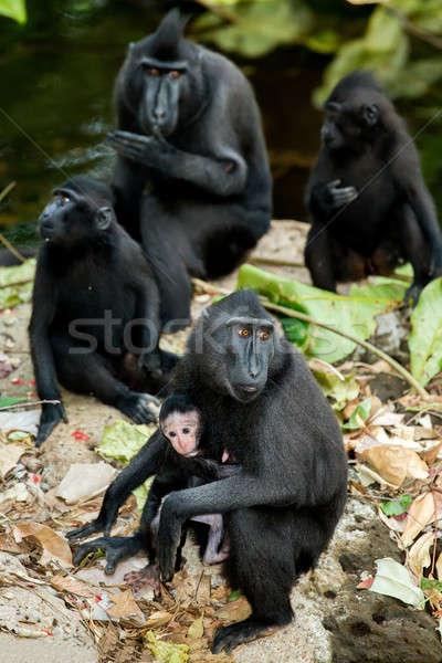 Portré Indonézia emberszabású majom majom kicsi baba Stock fotó © artush
