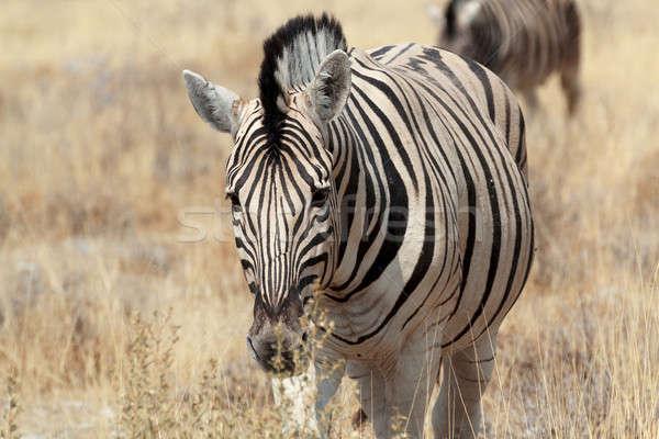 Zebra portrait. Burchell's zebra Stock photo © artush