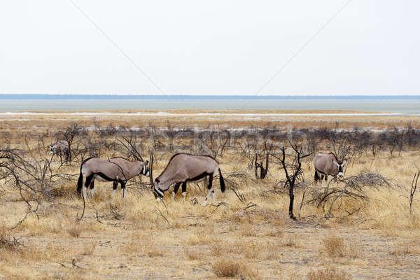 Oryx gazella in etosha Stock photo © artush