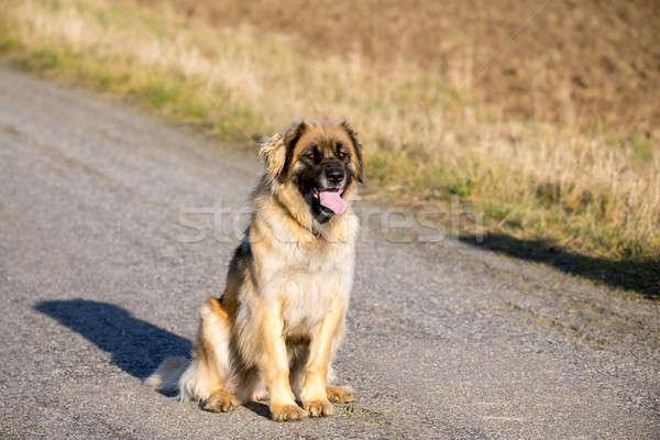 purebred Leonberger dog outdoors Stock photo © artush