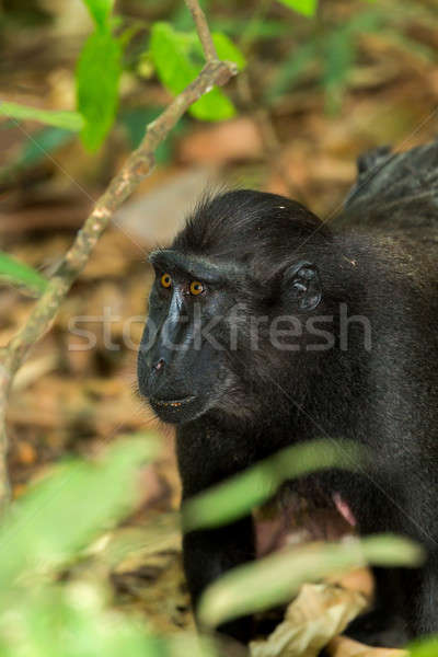 portrait of Celebes crested macaque Stock photo © artush