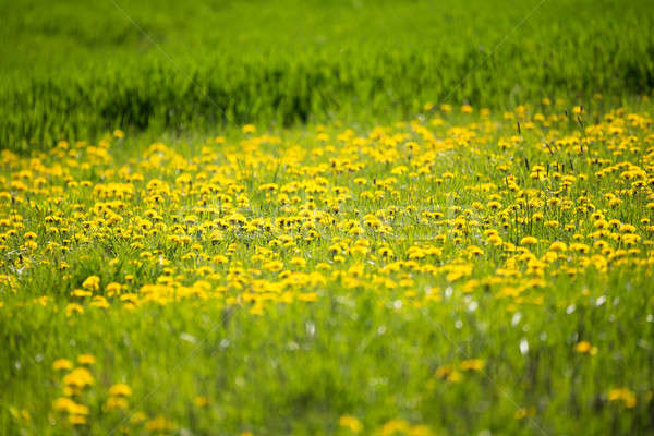 Yellow dandelion on a green background Stock photo © artush