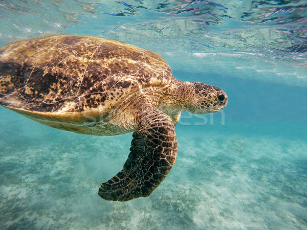 Adult green sea turtle (Chelonia mydas) Stock photo © artush