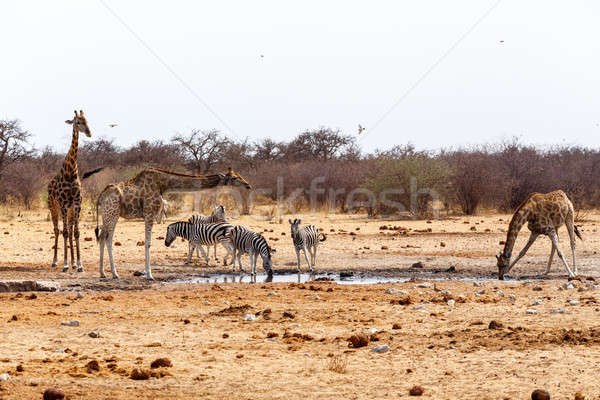 Giraffa camelopardalis and zebras drinking on waterhole Stock photo © artush