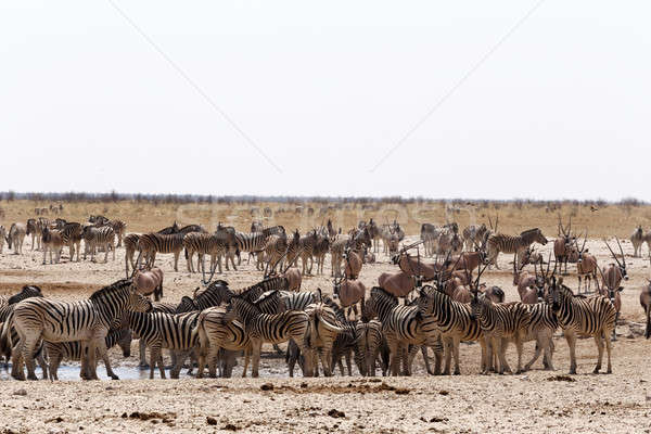 crowded waterhole with zebras, springbok and orix Stock photo © artush