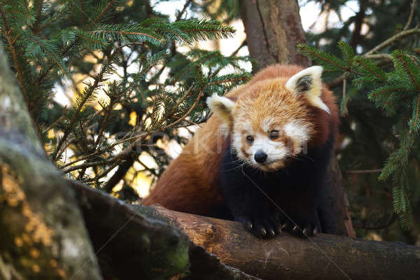 Rood panda portret klein natuur Stockfoto © artush