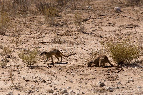 two meerkat or suricate Stock photo © artush