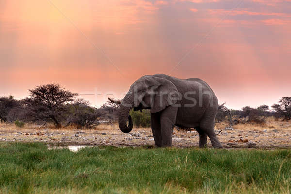 Stok fotoğraf: Büyük · Afrika · filler · portre · akşam · karanlığı · gökyüzü