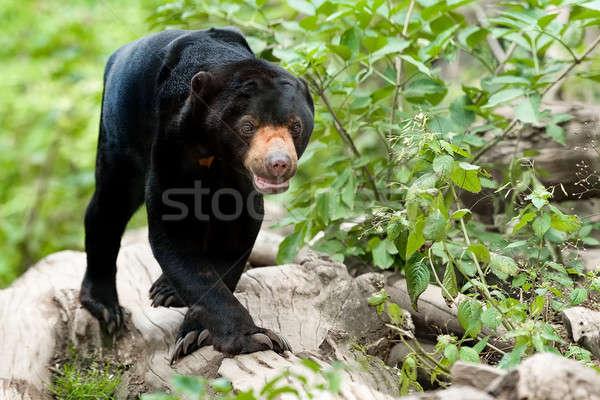 Malaysian bear or Sun bear  Stock photo © artush