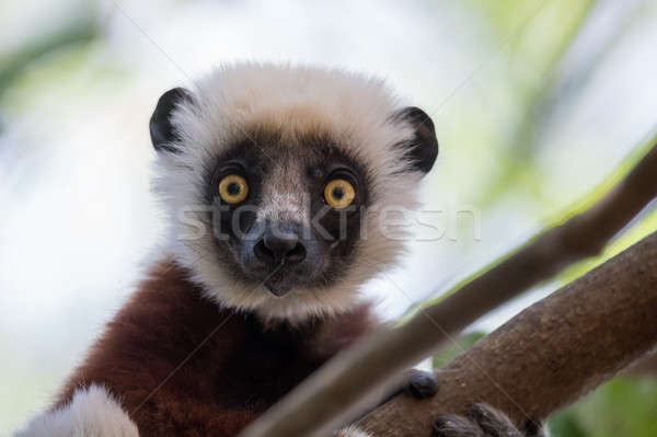 Stock photo: Coquerel's sifaka (Propithecus coquereli)