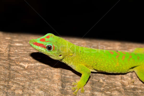 Día geco Madagascar reserva fauna Foto stock © artush