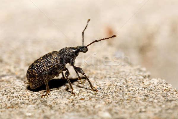 Black Vine Weevil - Otiorhynchus sulcatus Stock photo © artush